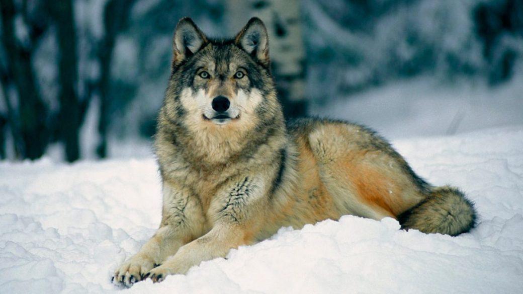 guia-de-los-lobos