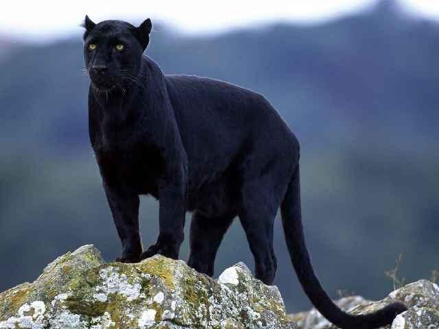 pantera-negra-salvaje